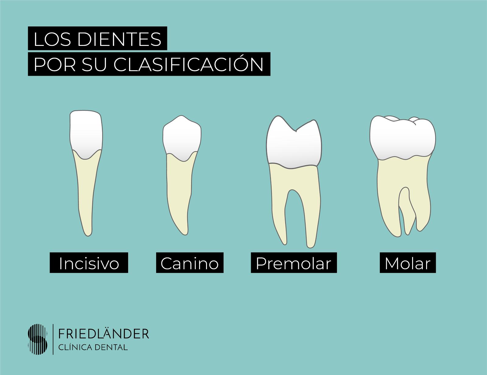 Nombre de los dientes: descubre sus nombres, números y su función. 1